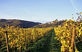 Weinbau bei Neuleiningen, Pfalz, Deutschland