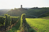 Wine-growing near Kiedrich, Rheingau, Germany