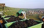 Grape-picker emptying grape-carrier, Württemberg, Germany
