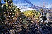 Netted vineyard, Moorilla Estate, Tasmania, Australia