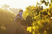 Grape picking, Leeuwin Estate, Margaret River, W. Australia