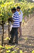 Zwei Arbeiter bei der Weinlese in Kalifornien, USA