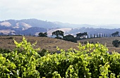 Wine landscape in Sonoma Valley, California, USA