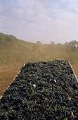 Harvested red wine grapes, Napa Valley, California, USA
