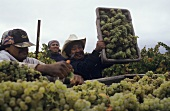 Grape-pickers, Carneros, California, USA