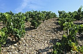 Vineyard near Banyuls, Roussillon, Bordeaux, France