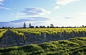 Brookfields Vineyards, Meeanee, Hawke's Bay, N. Zealand