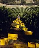 Picking Chardonnay grapes, Chittering Estate, Chittering, W. Australia