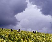 Grape-picking in Valmur vineyard of Guy Robin, Chablis, France