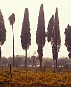 Cypresses by Lake Garda, Lazise, Veneto, Italy