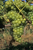 Alvarinho grapes hanging on the vine