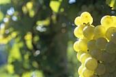 Chardonnay grapes (close-up, Austria)