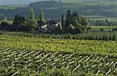 Vineyard (pergola trained), Eppan (Appiano), S. Tyrol, Italy