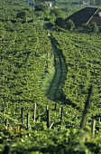 Vineyard near Kaltern (Caldaro), S. Tyrol, Italy