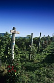 Vineyard of Schreckbichl (Colterenzio) Winery, Girlan, S. Tyrol, Italy