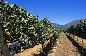 Pinot Noir grapes (also known as 'Blauer Spätburgunder')