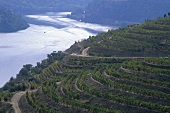 Vineyards near Chanceleiros, Alto Douro, Portugal