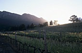 Vineyard of Buitenverwachting Estate, Constantia, S. Africa