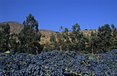 Trauben der Vina Errázuriz, Panquehue, Aconcagua-Tal, Chile