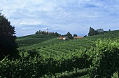 Landscape of vines, Jeruzalem, Slovenia