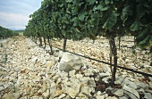 Stony ground in a vineyard, Bosnia and Herzegovina