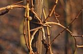 A willow vine tie