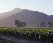 Weinberg im Casablanca Valley, Chile