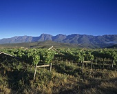 Vineyard near Robertson,  S. Africa