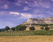 Weinberg nahe bei Penafiel, Ribera del Duero, Spanien