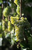 Tempranillo blanco grapes on the vine