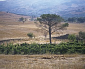 Wine-growing near Lucito (DOC Biferno), Molise, Italy