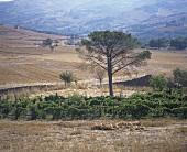 Weinbau um Lucito (DOC Biferno), Molise, Italien
