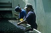 Sorting grapes, Vriesenhof, Stellenbosch, S.Africa