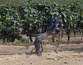 90-year-old Cabernet Sauvignon vine, Bordeaux, France