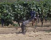 90 Jahre alter Cabernet-Sauvignon-Wein, Bordeaux, Frankreich