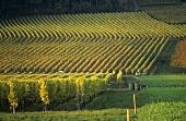 Vineyard near Boudry, Neuchâtel, Switzerland