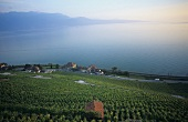 Wine-growing near Epesses, Lavaux, Vaud, Switzerland
