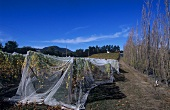 Vineyard of the Moorilla Estate, Hobart, Tasmania