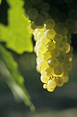 Muscadelle grapes, Entre-deux-Mers, France