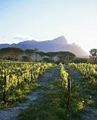 Bellingham Estate, Groot Drakenstein, Franschhoek, S. Africa