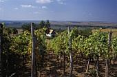 Vineyards on northern edge of Szekszard wine region, Hungary