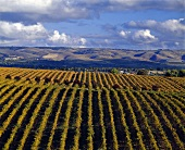 Vineyards in autumn, McLaren Vale, S. Australia