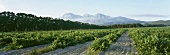 Vineyards with view of Simonsberg, Paarl, S. Africa
