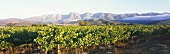 Vineyards near Tulbagh, Robertson, S. Africa