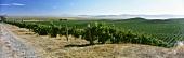 Wine-growing near Carneros, California, USA