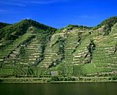 'Winninger Uhlen' individual vineyard site, Mosel-Saar-Ruwer, DE