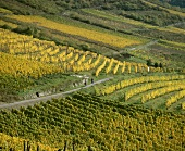 Wine-growing around Assmannshausen, Rheingau, Germany