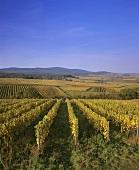 Wine-growing near Hattenheim, Rheingau, Germany