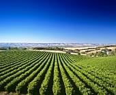 Wine-growing near McLaren Vale, S. Australia