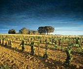 Wine-growing around Rutherglen, Victoria, Australia